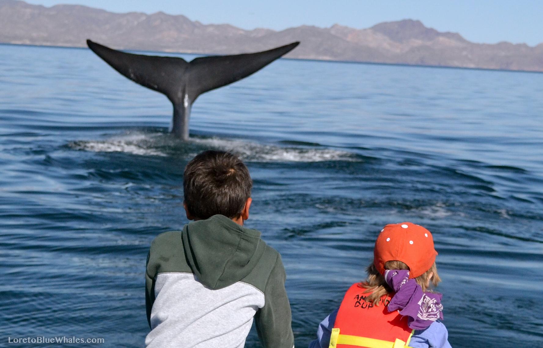Blue Whale Tails (flukes)
